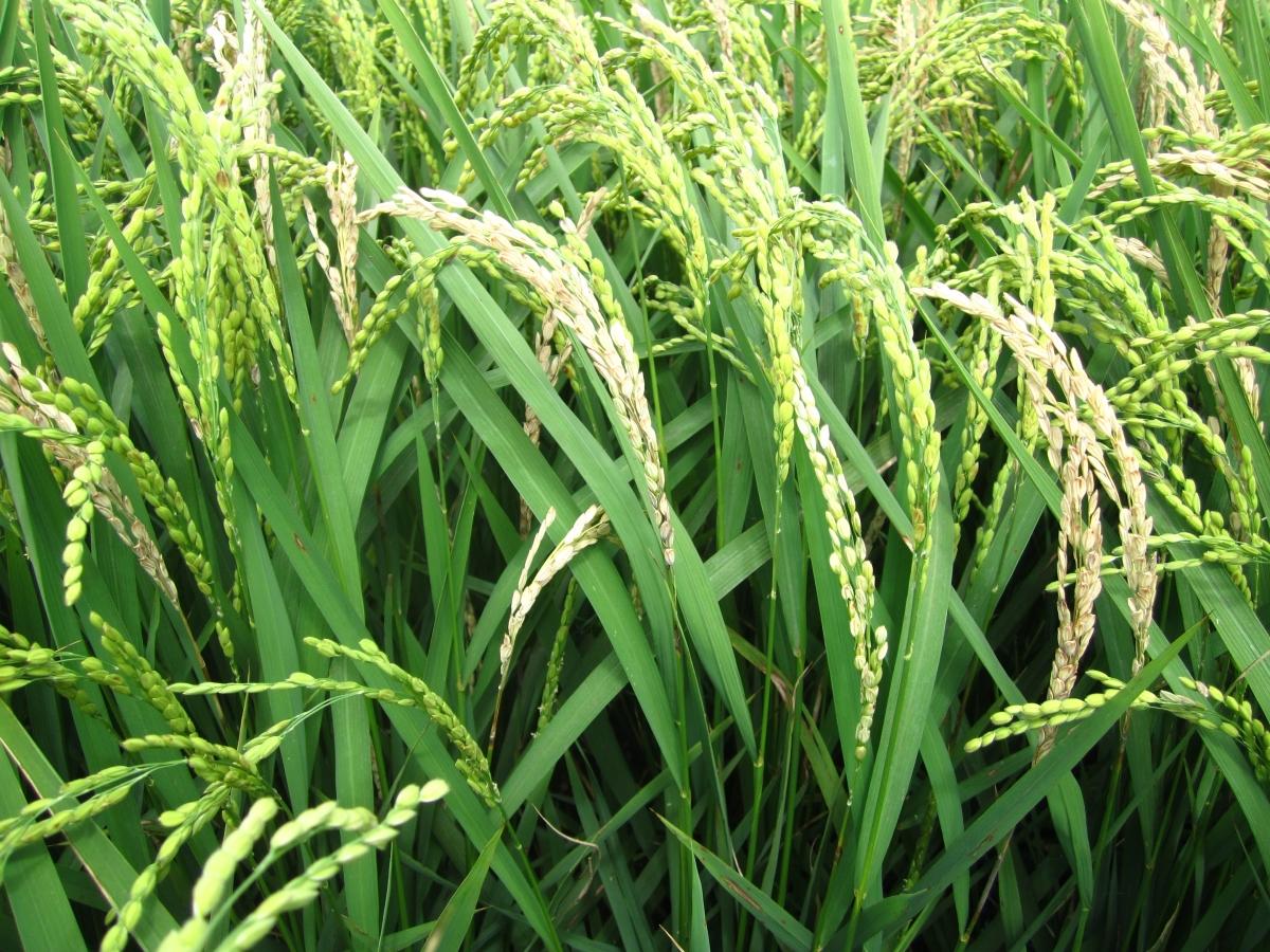 罹患穗稻熱病形成白穗