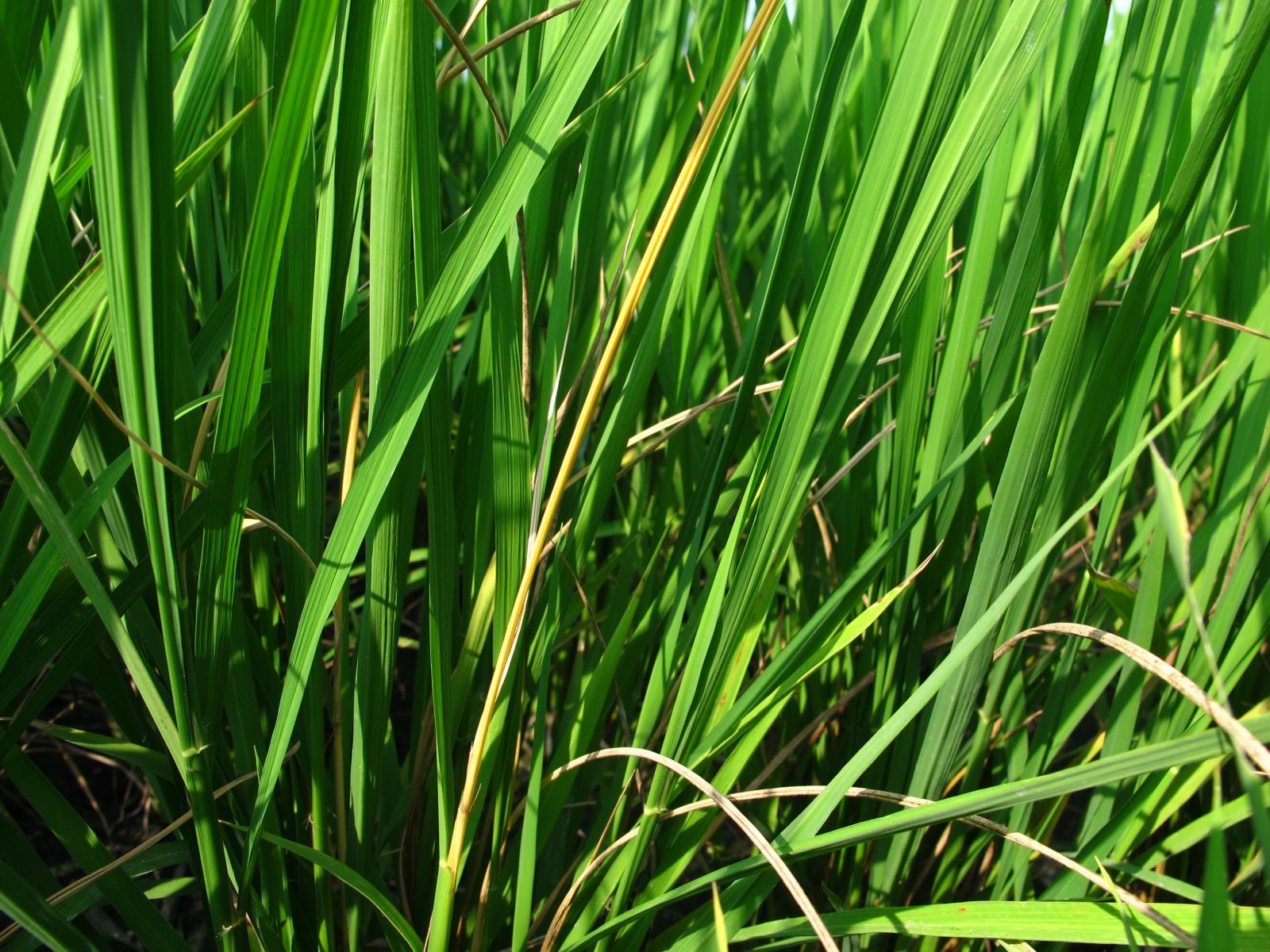 水稻心葉受螟蟲為害