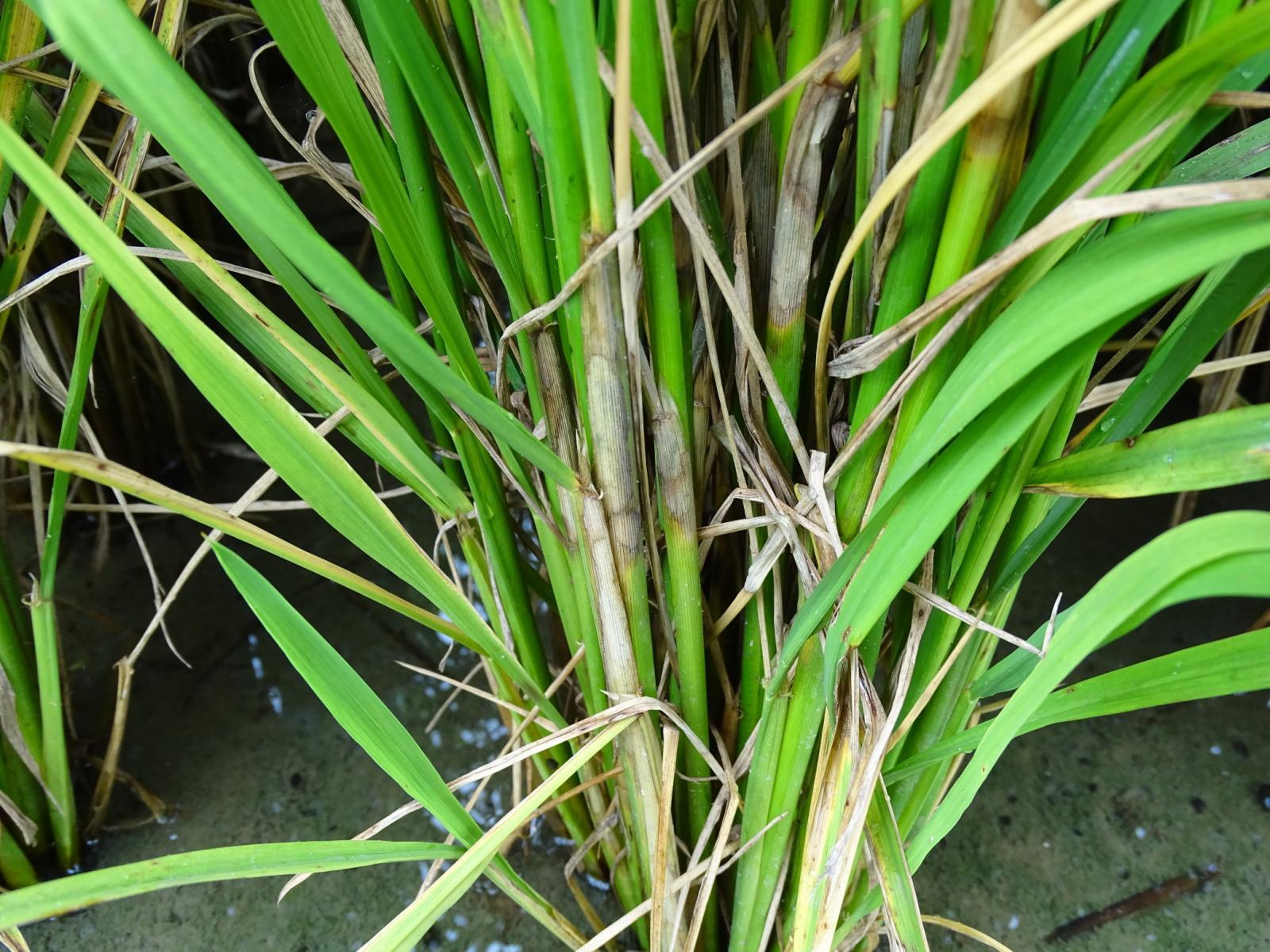水稻感染紋枯病病徵