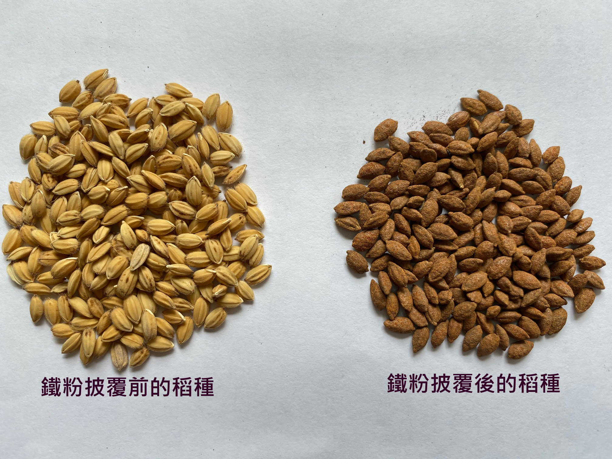 「稻種披覆鐵粉直播技術」可以減少稻種被鳥類啄食機會及解決稻農浮苗問題