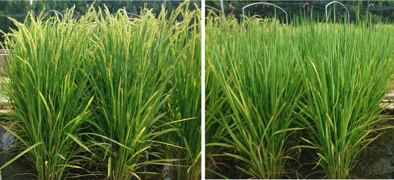 水稻新品種「臺南19號」(左)較目前主要栽培品種「臺南11號」(右),提早20天收穫,有助於節省灌溉水資源