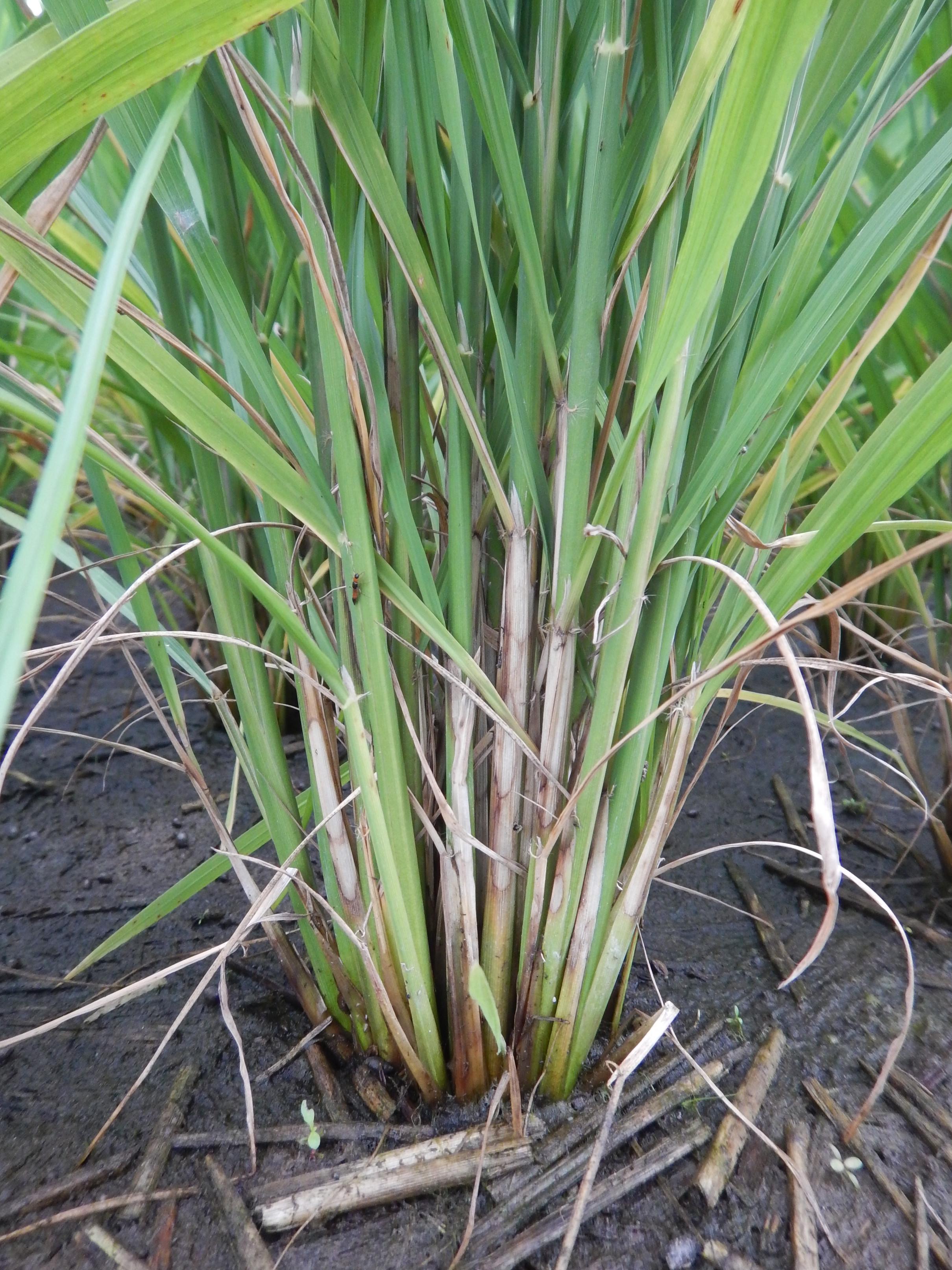 水稻紋枯病之虎斑狀病徵