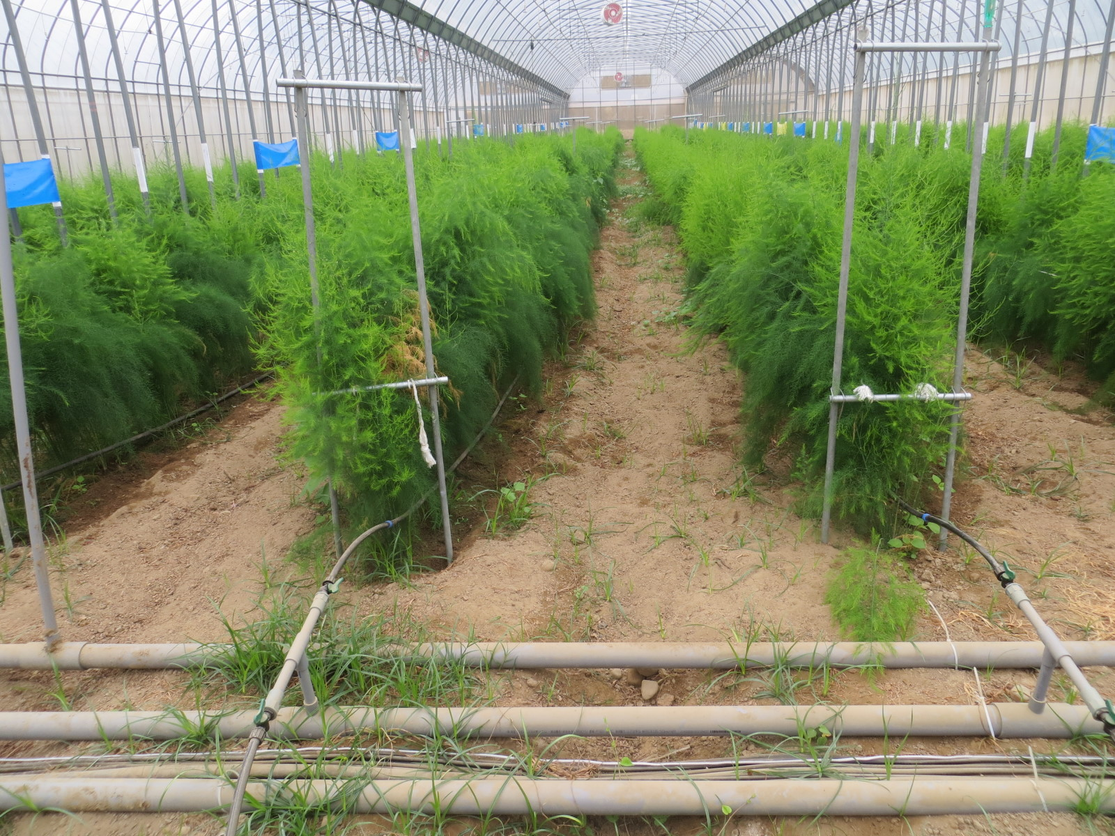 「青松農場」設施蘆筍應用滴灌給水現況
