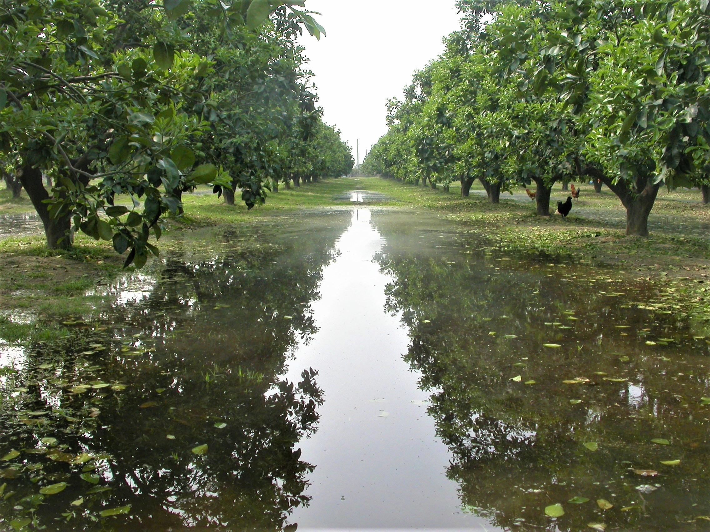 平地文旦果園多以淹灌進行灌溉
