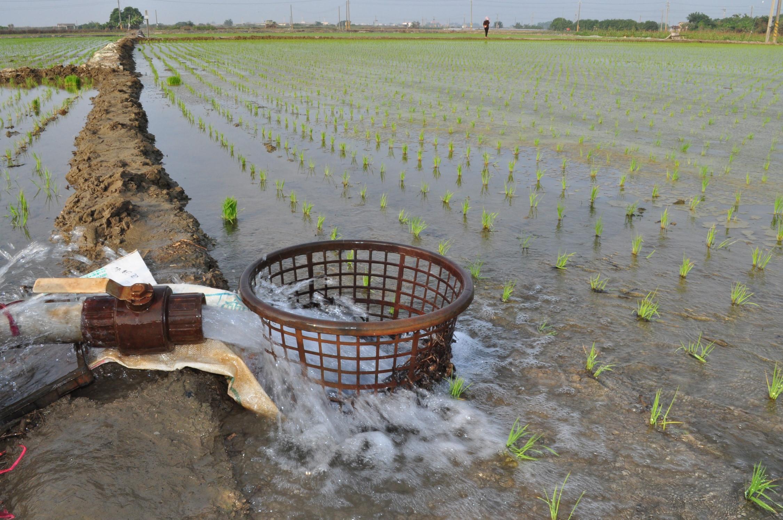 水稻插秧後初期應維持適當水位
