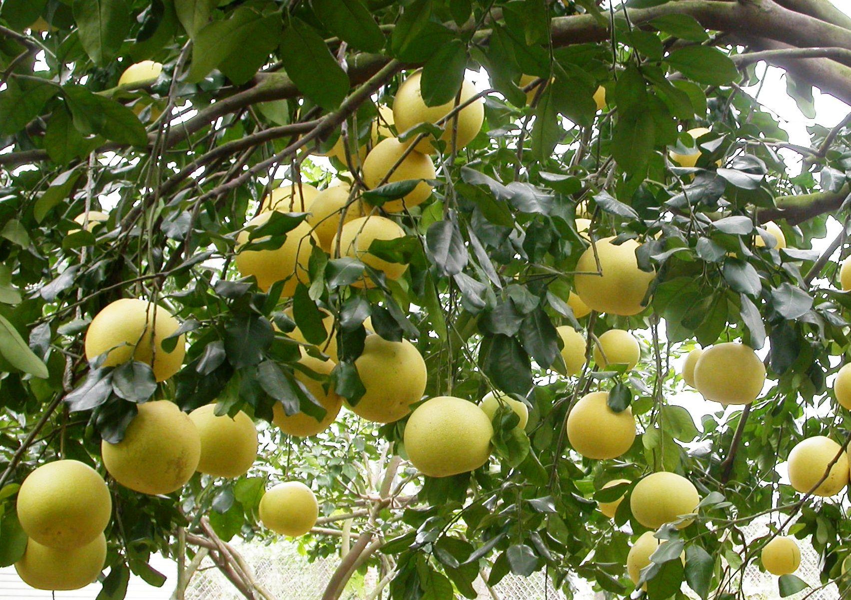 結實纍纍的大白柚植株