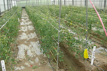 Fertigation techniques for cherry tomato can save fertilizer and water