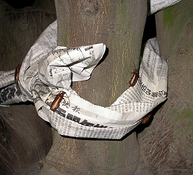 Circling tree trunks with newspaper or two layers of cardboard provides a place for Philus antennatus to lay eggs.